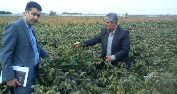 soybean 620x330 تولید سویا در استان گلستان