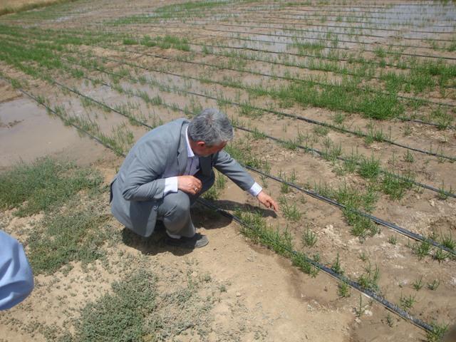 DSC04567 بازدید ریاست نهاد جهاد کشاورزی استان گلستان و همچنین بررسی کننده و پروهشگر پژوهشکده بیوتکنولوژی از روند داشت مزرعه سالیکورنیا در ایستگاه شوری مرکز تحقیقات و همچنین آموزش کشاورزی گلستان