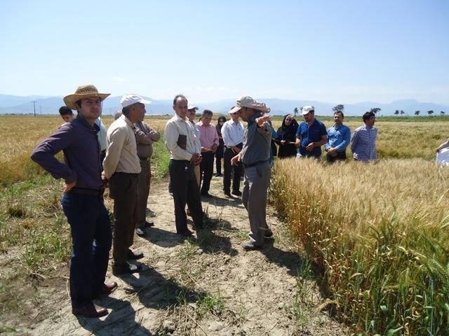 DSC09982 نمایش روز مزرعه گندم دیم در ایستگاه تحقیقات کشاورزی گنبد
