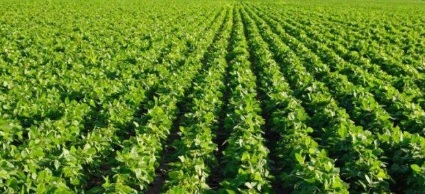 soybean2 620x284 کنترل عارضه اختلال در غلاف بندی سویا