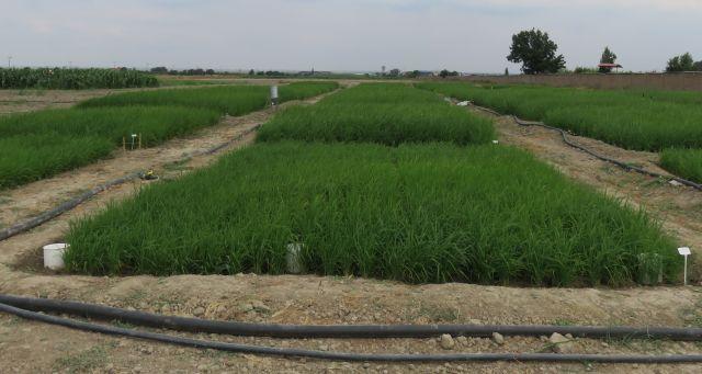 N9805162 برگزاری پنجمین جلسه خشکه کاری برنج در مرکز تحقیقات و همچنين آموزش گلستان
