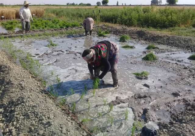 N9904031B انجام عملیات روش های متنوع و گوناگون و مختلف کشت مستقیم برنج (خشکه کاری) در ایستگاه تحقیقات عراقی محله گرگان