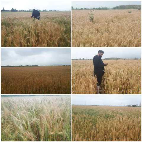 N9906031C کنترل فرایند تولید بذرو همچنينبازدید مزارع به همت کارشناسان واحد ثبت و همچنين گواهی مرکز تحقیقات و همچنين آموزش گلستان