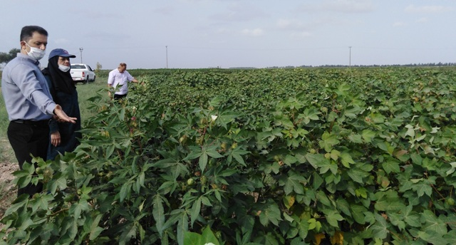 N9907052C کنترلروند و همچنينفرایند تولید بذرو همچنينبازدید مزارع به همت کارشناسان واحد ثبت و همچنين گواهی مرکز تحقیقات و همچنين آموزش گلستان